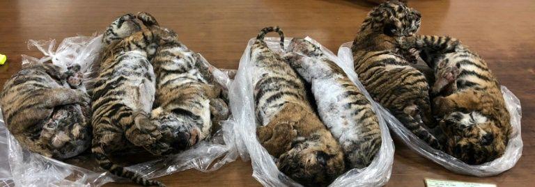 Resultado de imagen para encuentran a tigres congelados