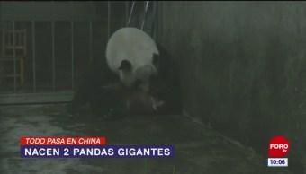 Todo Pasa En China: Nacen 2 pandas gigantes
