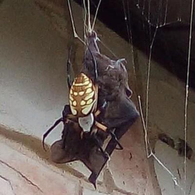 VIDEO: Araña gigante captura a murciélago para devorarlo