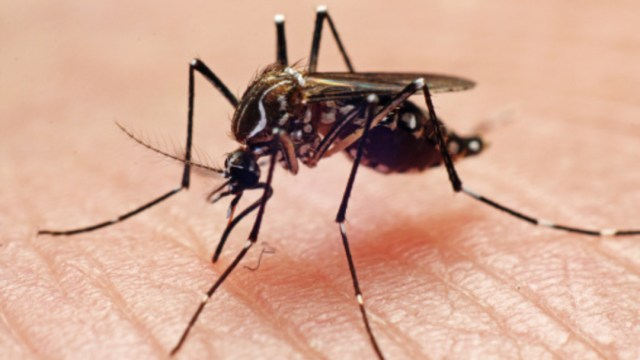 Foto: El mosquito Aedes Aegypti es el transmisor del dengue, 28 de agosto de 2019 (Getty Images, archivo)