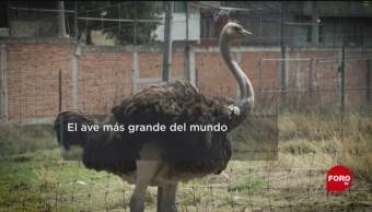 FOTO: La crianza de avestruces en la UNAM, 18 Agosto 2019