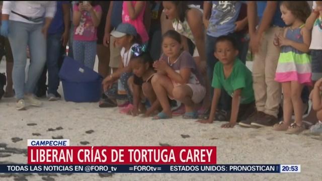 Foto: Liberan Crías Tortuga Carey Campeche 8 Agosto 2019
