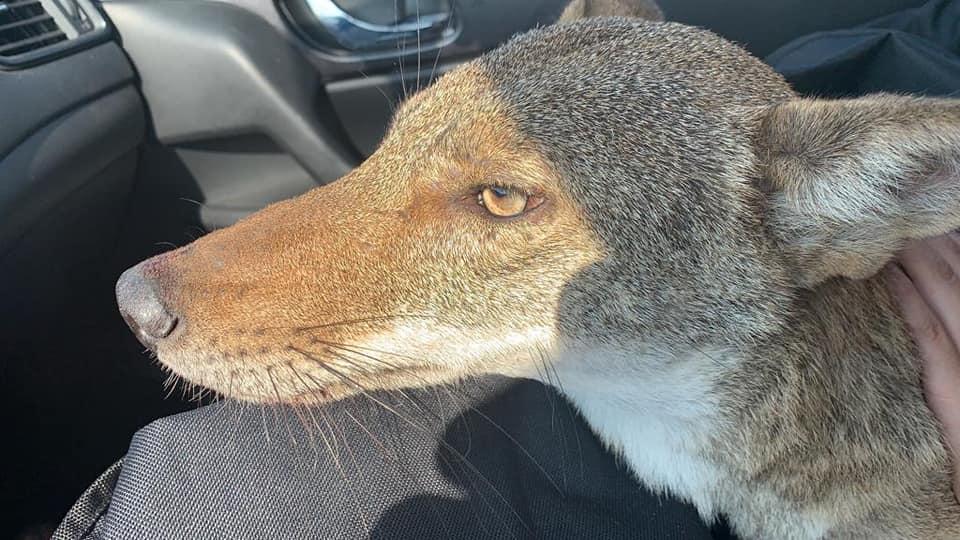Foto: joven rescata a coyote creyendo era perro. 30 Septiembre 2019