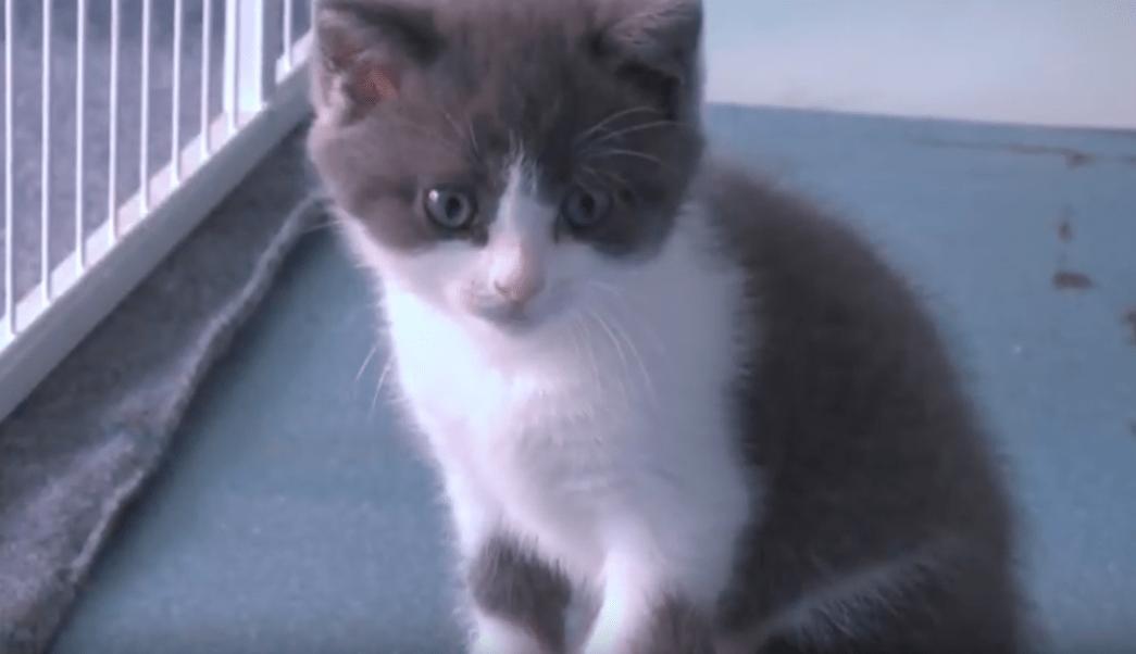 Foto Clonan por primera vez a un gato doméstico 9 septiembre 2019