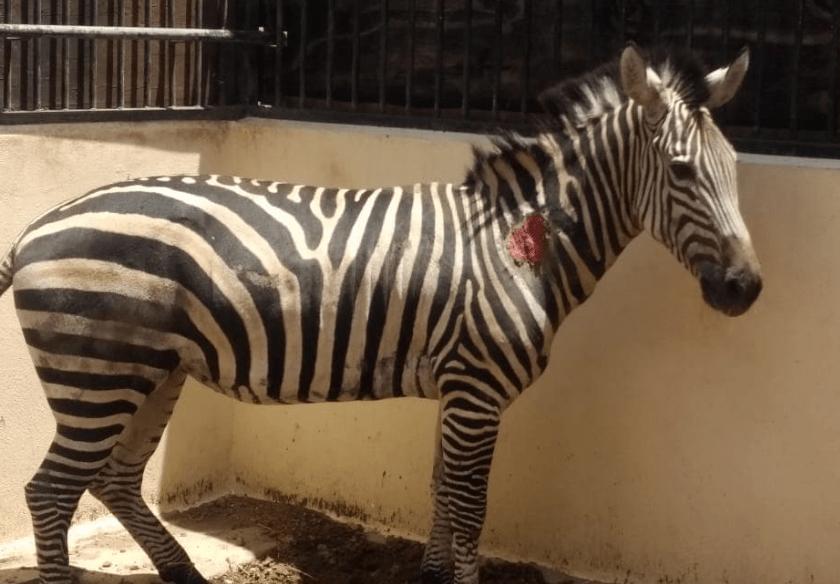 Foto cebra comiendo sus heces en Zoológico de Aragón causa indignación 24 septiembre 2019