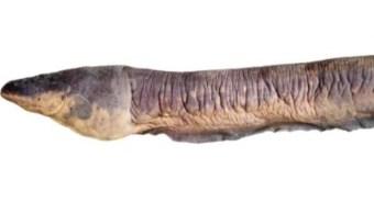 Foto: Las anguilas eléctricas, que pese a su nombre se parecen más a los peces que a las verdaderas anguilas, apasionan a los científicos por su capacidad de producir electricidad, 11 de septiembre de 2019 (Twitter @ABCscience)