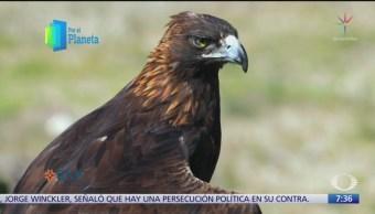 El águila real alcanza la velocidad de un auto fórmula uno