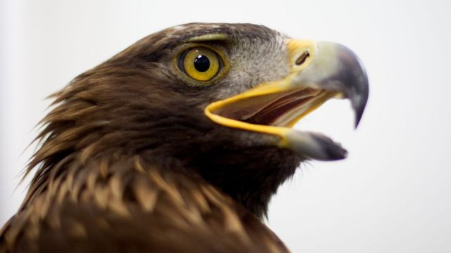Foto: Un ejemplar de águila real mexicana. Cuartoscuro