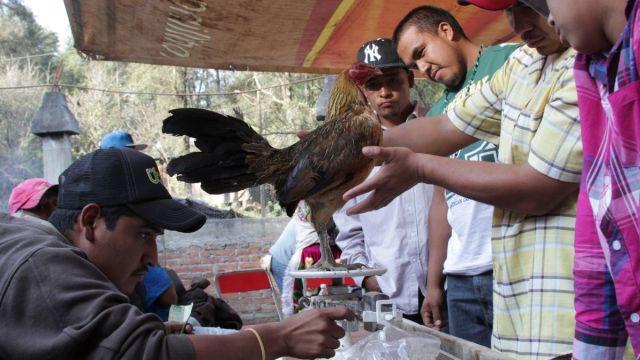 Foto: Un grupo de personas preparan y pesan a un gallo para una pelea. Cuartoscuro