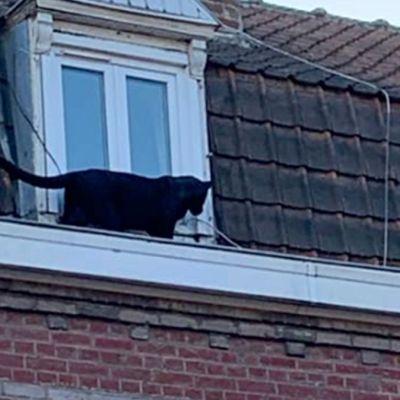 Roban del zoológico una pantera negra rescatada en un edificio en Francia