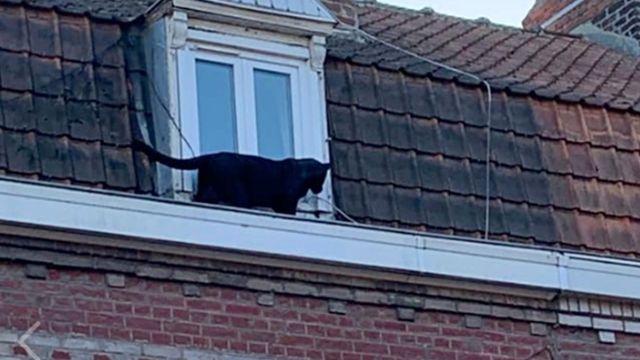 Roban pantera negra en zoológico de Francia