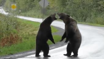 Foto Osos grizzly protagonizan espectacular pelea en una carretera