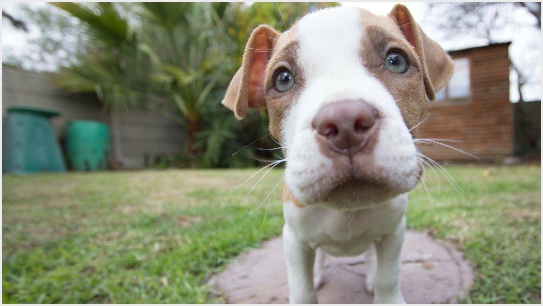 Imagen: Un perro pitbull falleció tras ser atacado por serpiente, 28 de septiembre de 2019 (pixabay)