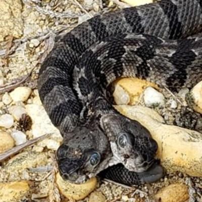 Descubren serpiente con dos cabezas en Nueva Jersey, EU