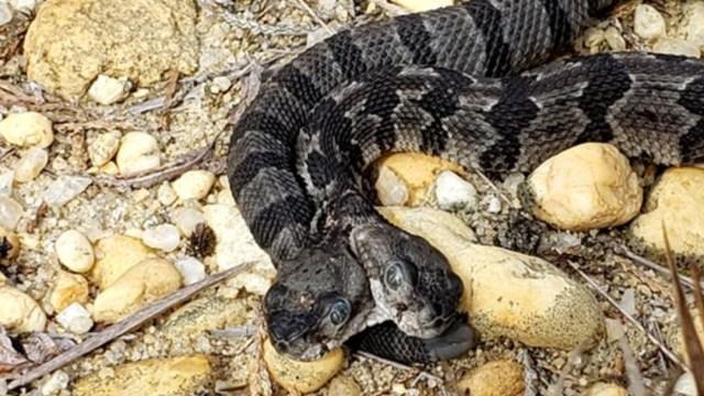 FOTO Descubren serpiente con dos cabezas en Nueva Jersey, EU (AP/Herpetological Associates)