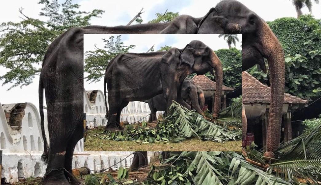 Foto: La elefanta Tikiri, agosto de 2019, Sri Lanka