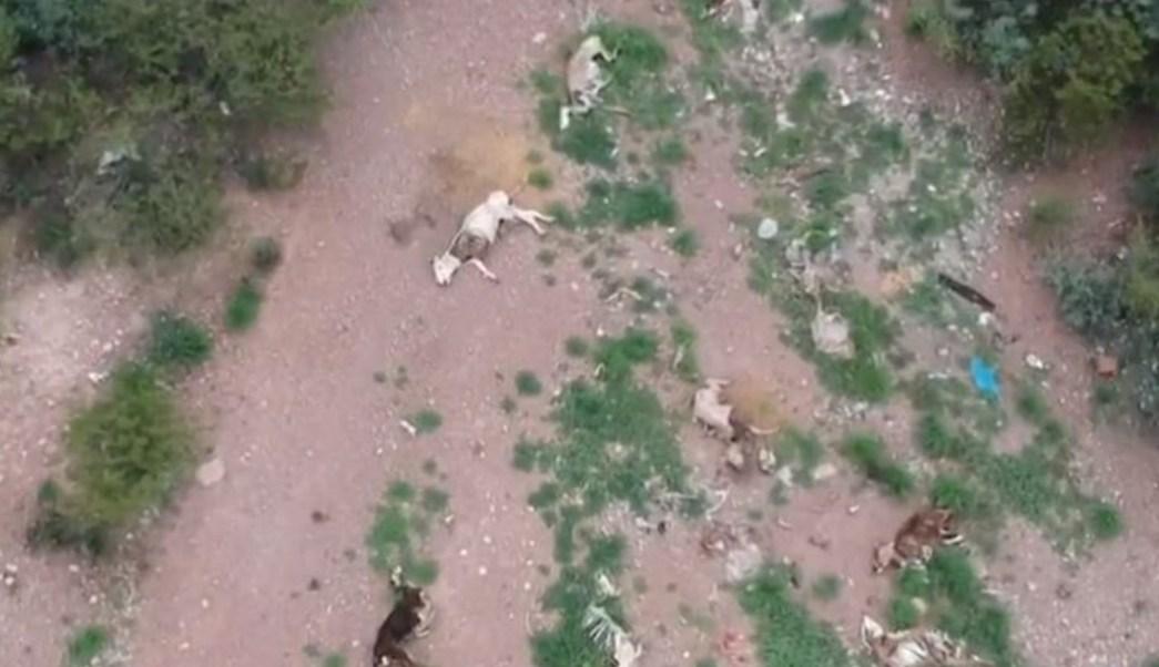 Vaca muerta en Sagarpa, símbolo de sequías extremas, en Durango