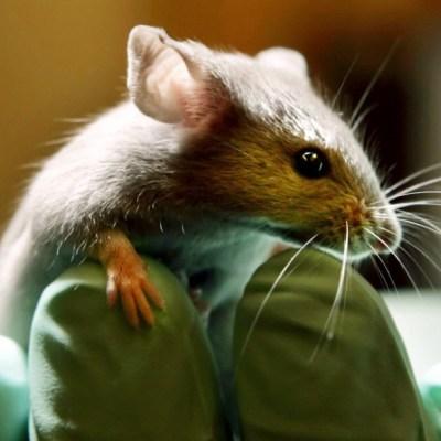 Cigarrillos electrónicos causan cáncer de pulmón en ratas de laboratorio