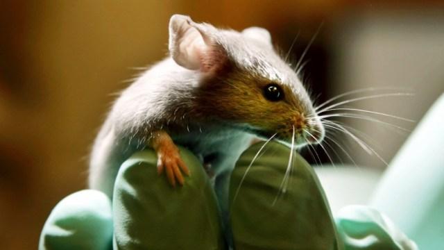 Foto: Cigarrillos electrónicos causan cáncer de pulmón en ratas de laboratorio, 24 de enero de 2006, Estados Unidos.