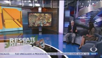 Cómo se protege en México al jaguar