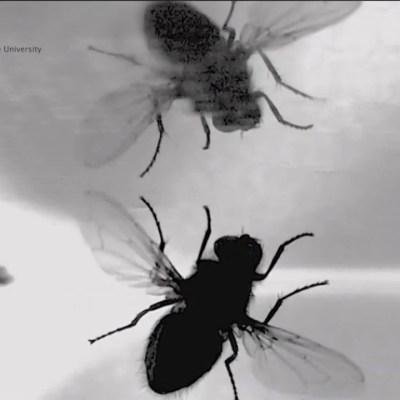 Descubren el secreto de las moscas para aterrizar al revés