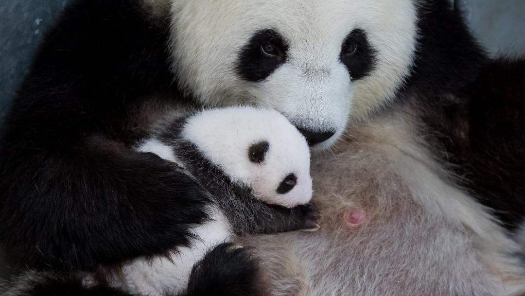 Foto: Se desarrollan bien gracias a la atención de su madre, Meng Meng, 18 de octubre de 2019, (Twitter @zooberlin)