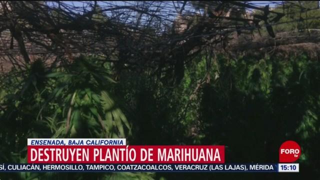 FOTO: Incineran plantío de marihuana en Ensenada, Baja California, 5 octubre 2019