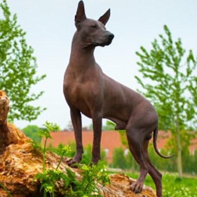 La historia del xoloitzcuintle, el perro sin pelo emblemático de México
