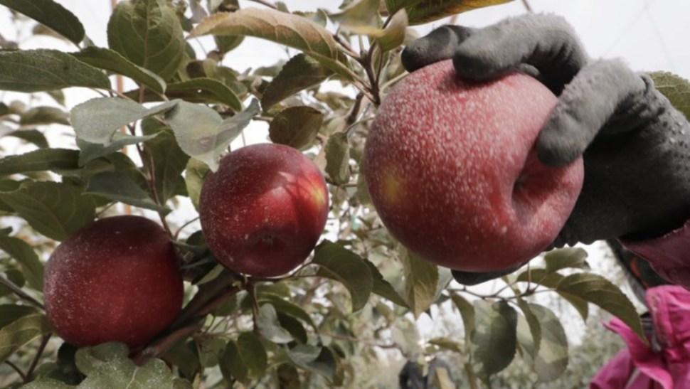 Imagen: Las manzanas generan 2.500 millones de dólares al año en Washington, que produce 60% de los suministros nacionales, 23 de octubre de 2019 (AP)