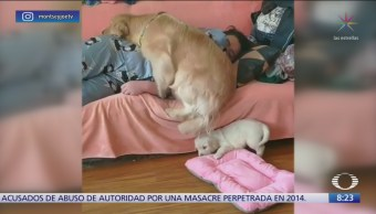 Perro quita a cachorro de sillón para ocupar el lugar
