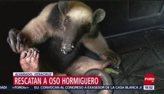 FOTO: Rescatan oso hormiguero Veracruz,