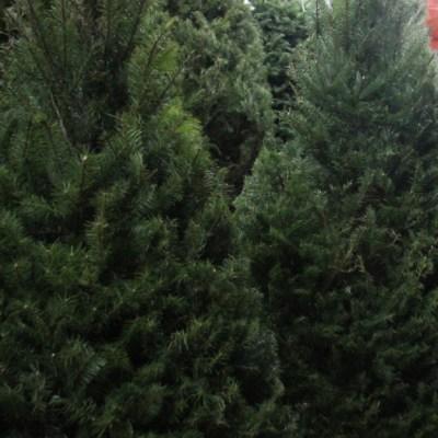 México regresa a EEUU más de cuatro mil árboles de Navidad con plaga