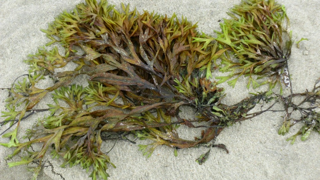 Foto: China aprueba medicamento algas marinas para alzheimer. 5 Octubre 2019