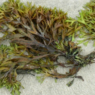 China aprueba nuevo medicamento para el Alzheimer a base de algas marinas
