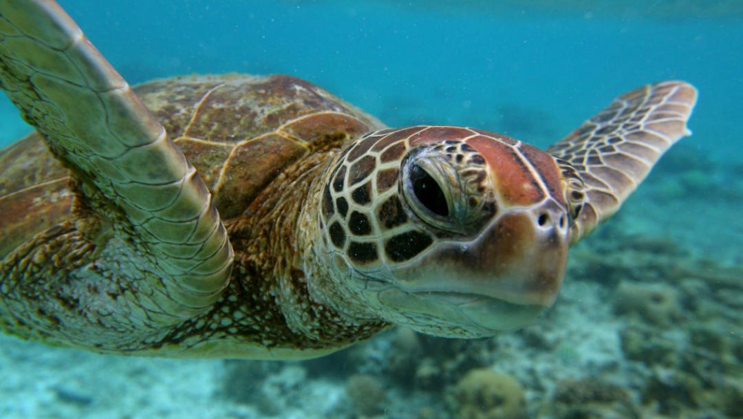 Hallan tortugas marinas con tumores por presencia de metales en su sangre