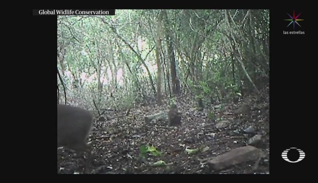 FOTO: Científicos logran fotografía del ciervo ratón espalda plateada de Vietnam, 11 noviembre 2019