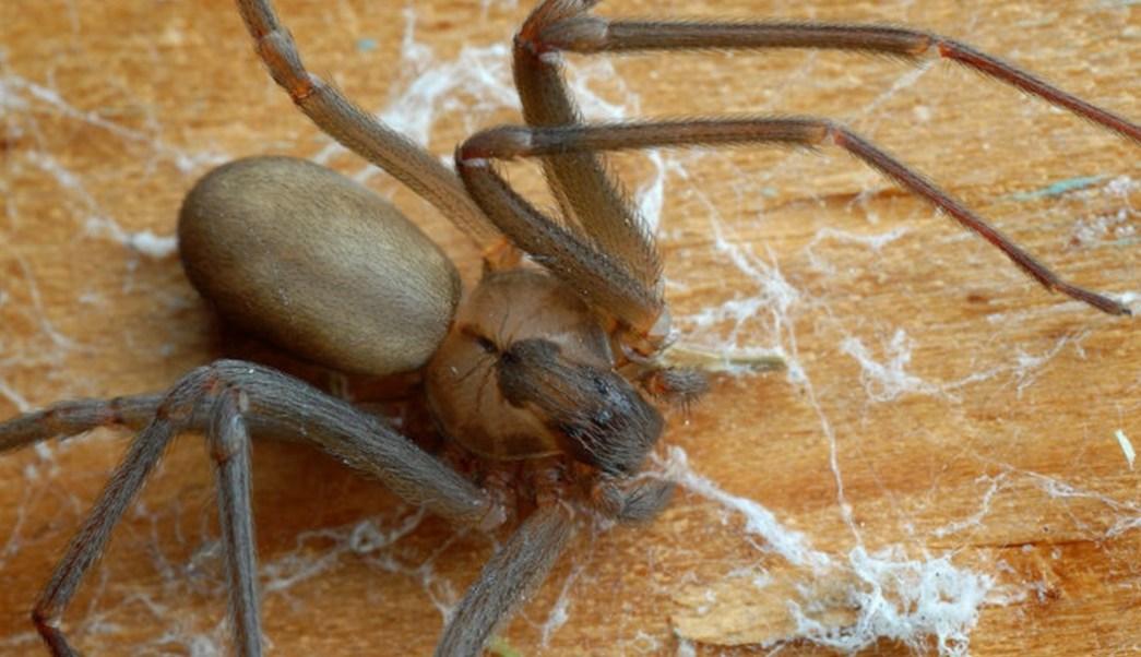 FOTO Lo muerde araña violinista y le diagnostican influenza