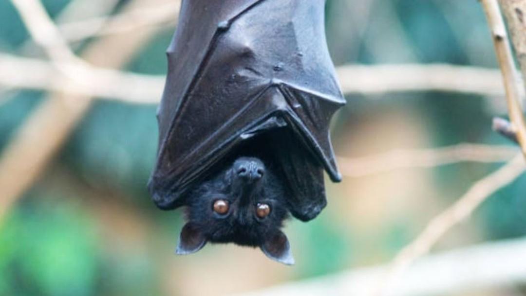 FOTO Murciélagos tendrían respuestas al envejecimiento y cáncer