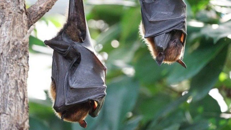 FOTO Murciélagos podrían tener respuestas a combate a envejecimiento y cáncer. (Notimex)