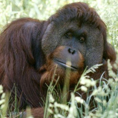 Sandra, la orangutana reconocida como 'persona no humana' se muda a santuario en Florida