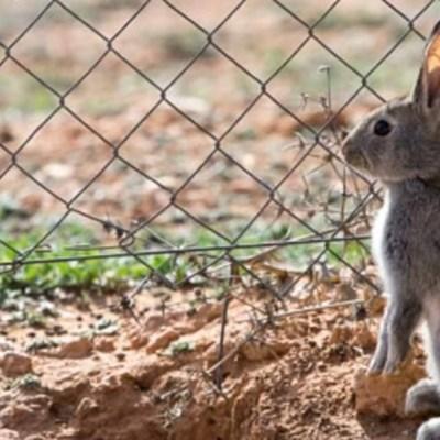 """Foto: El conejo del monte fue recientemente catalogado """"en peligro"""" de extinción por la UICN, 13 diciembre 2019"""