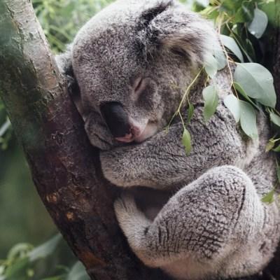 Koala detiene a ciclistas y les pide agua a causa de las altas temperaturas