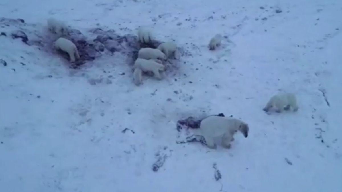 Osos polares llegan a aldea en Rusia.