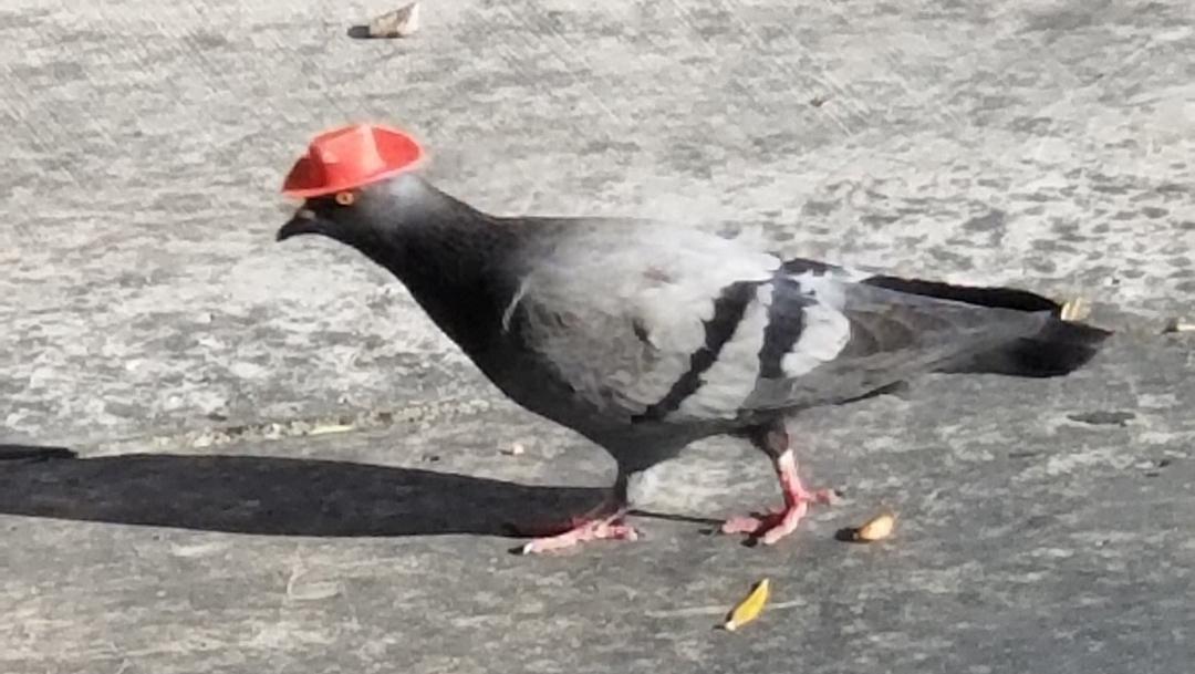 Activistas condenan videos virales de palomas con sombreros