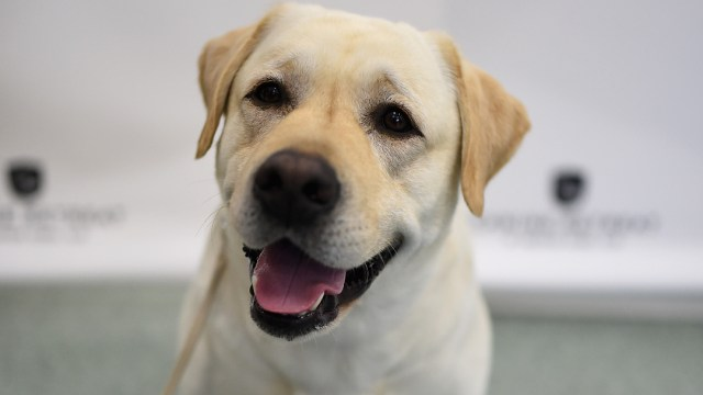 FOTO: Perro labrador retriever, el 30 de diciembre de 2019