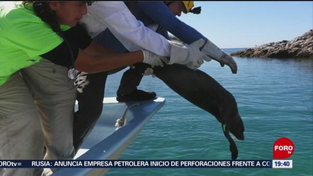 Foto: Rescatan Leones Marinos Atrapados Redes Pesca 5 Diciembre 2019