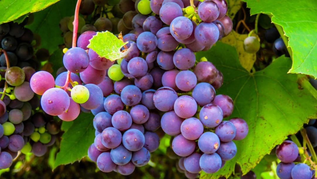 Origen y significado de las 12 uvas en Año Nuevo