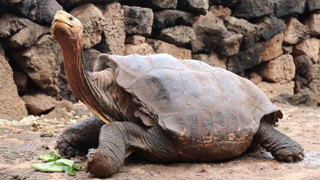 Foto: Diego, la tortuga gigante que ayudó a salvar a su especie gracias a su potencia sexual, 09 de enero de 2020, (EFE)