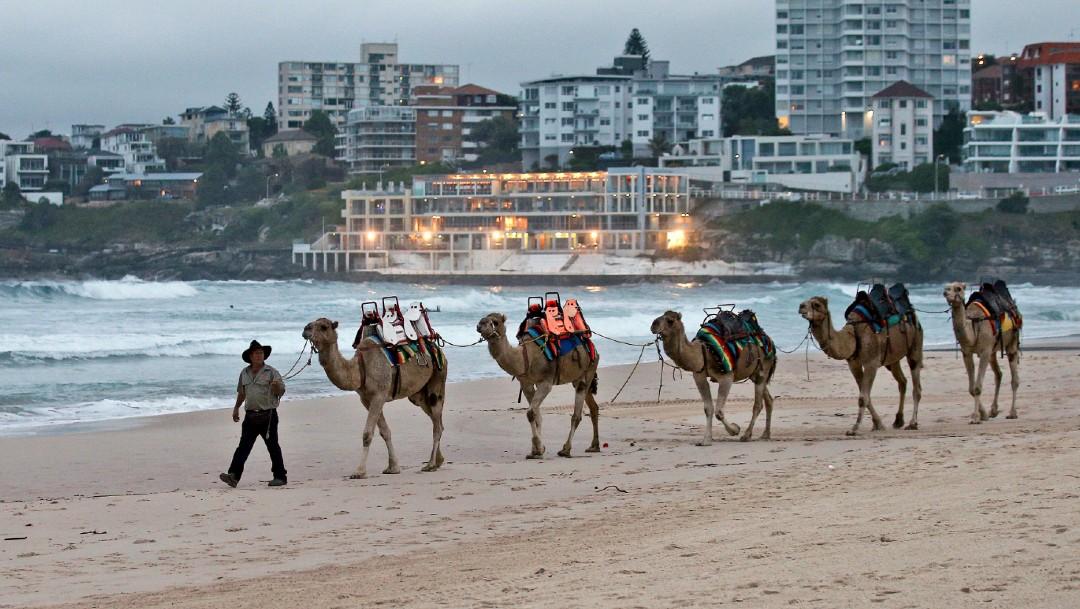 Australia sacrificará a miles de camellos salvajes