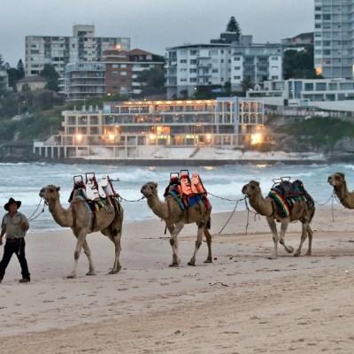 Australia sacrificará a miles de camellos salvajes que compiten por el agua